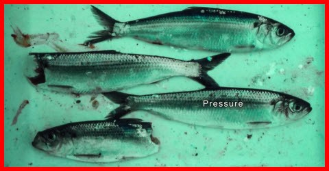 Are tidal propeler turbines fish friendly
