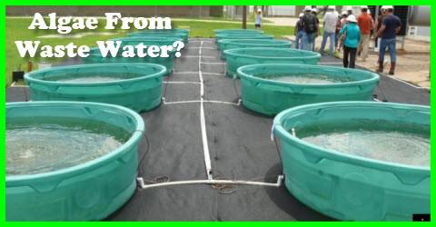 Algae From Waste Water