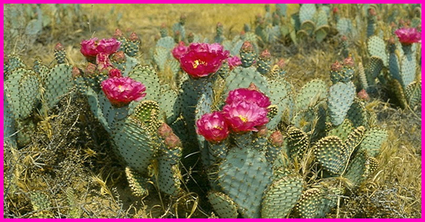 prickly pear biofuel